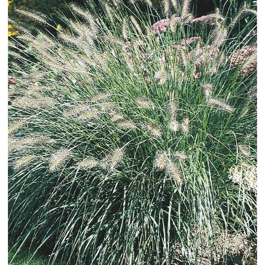 2.5-Quart Fountain Grass (L4997)