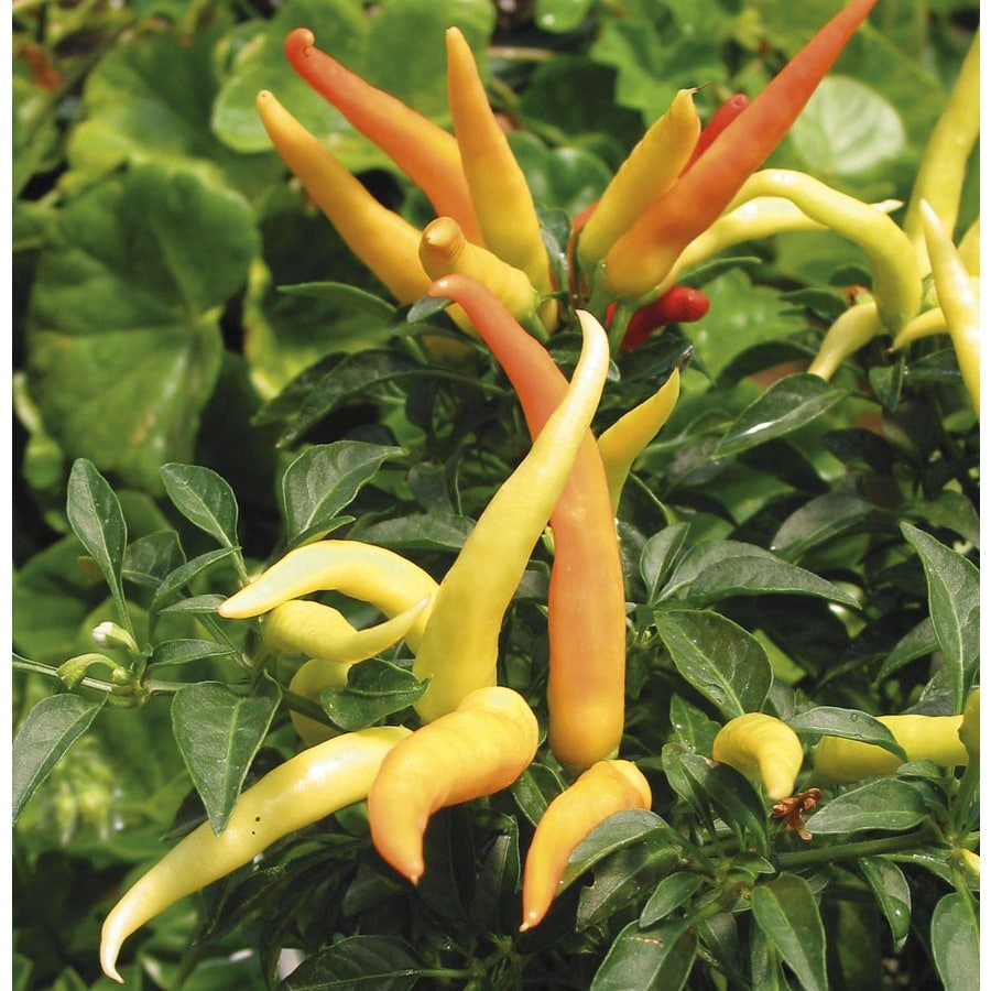 2.5-Quart Ornamental Pepper (L9728)