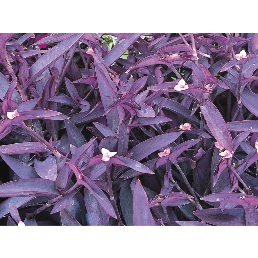 2.5-Quart Purple Queen (L9175)