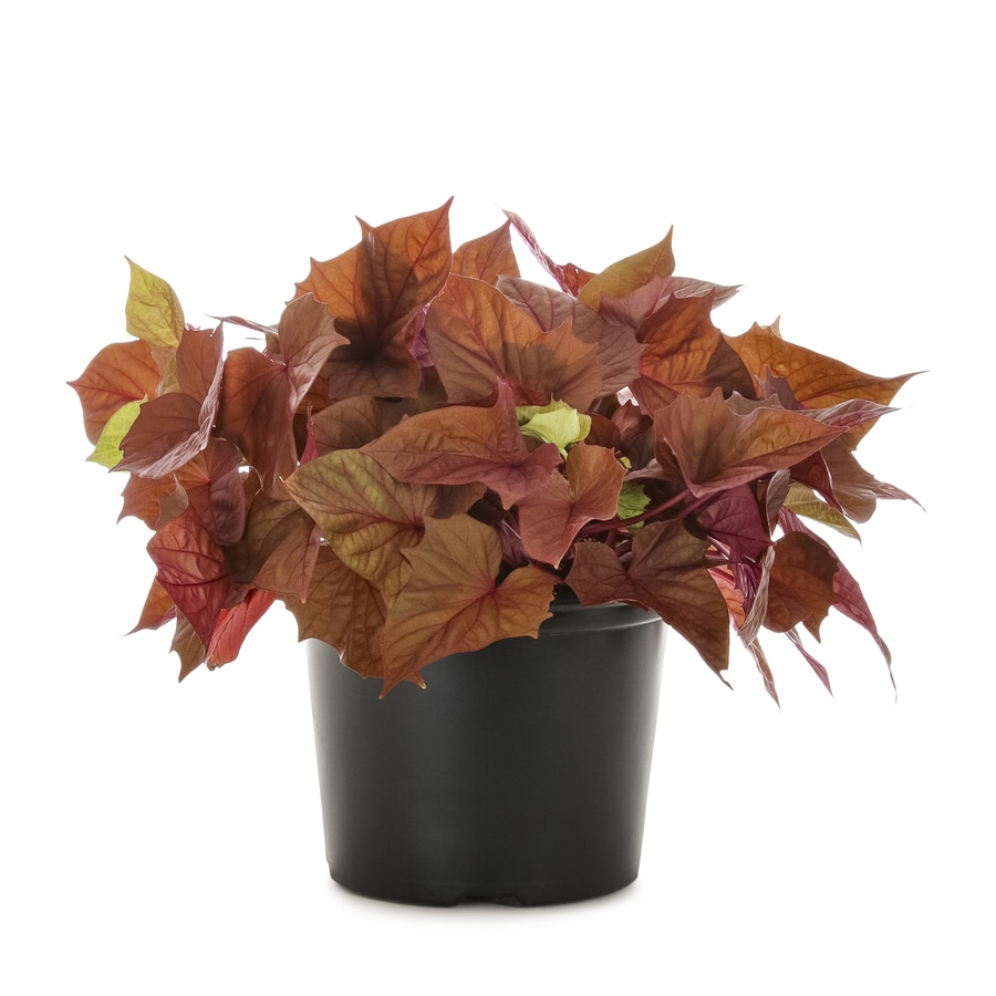3-Quart Sweet Potato Vine (L9884)