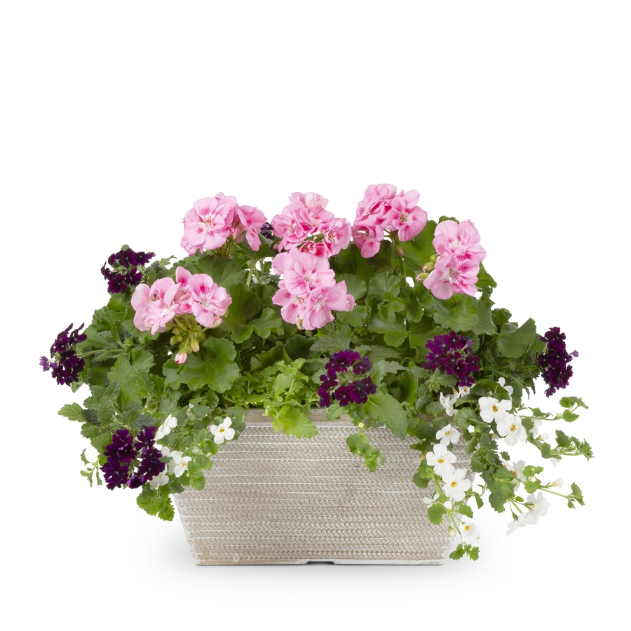1.5-Gallon Mixed Annuals Combinations