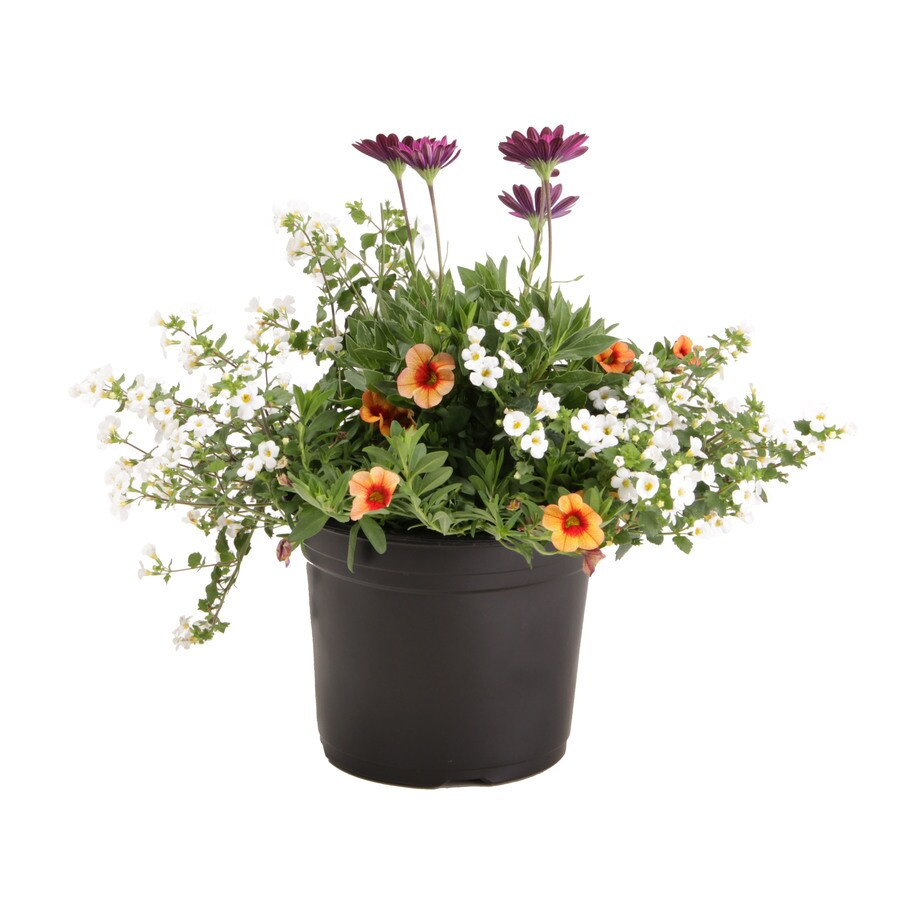 3-Quart Mixed Annuals Combinations