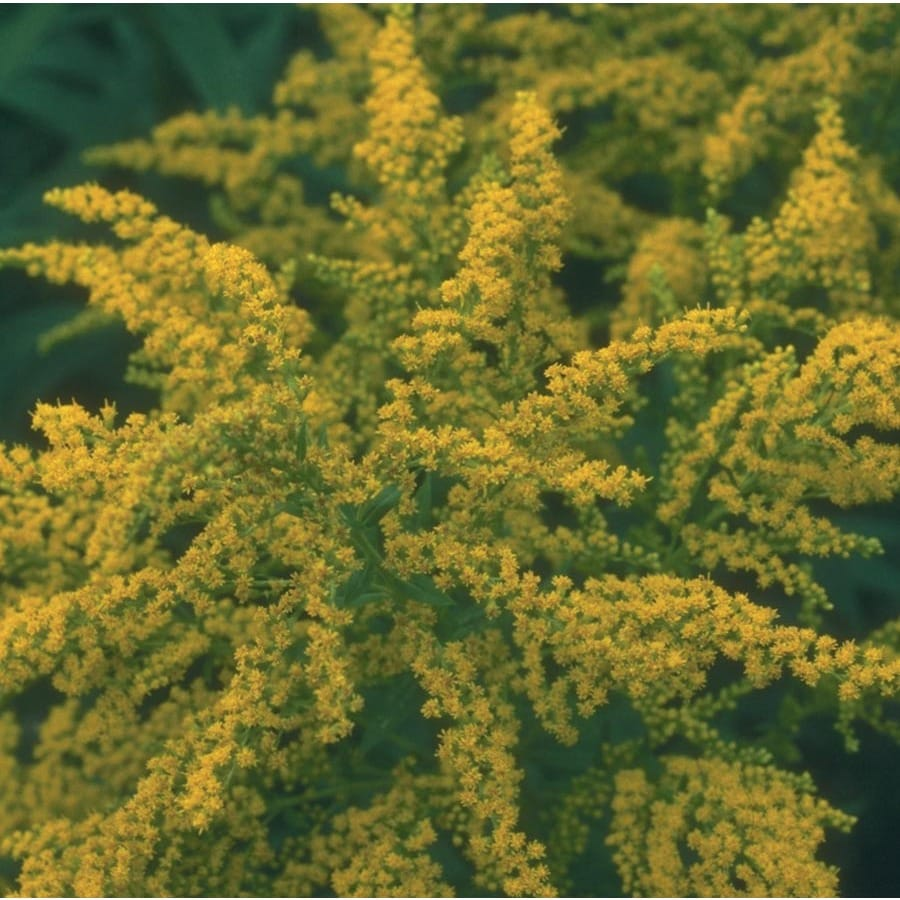 0.1-Quart Golden Rod (L9177)