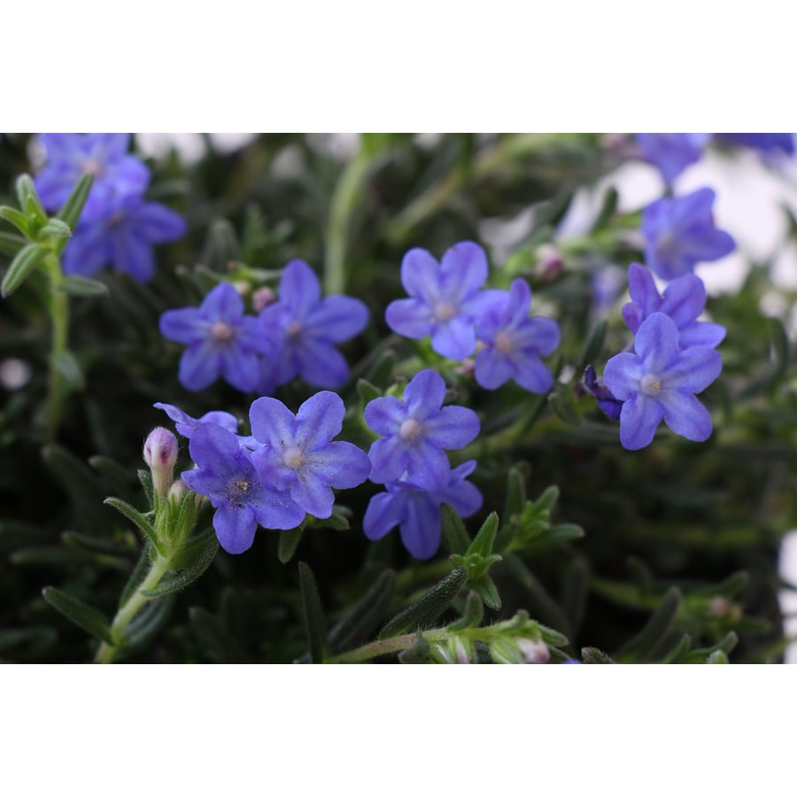Monrovia 1-Quart Lithodora