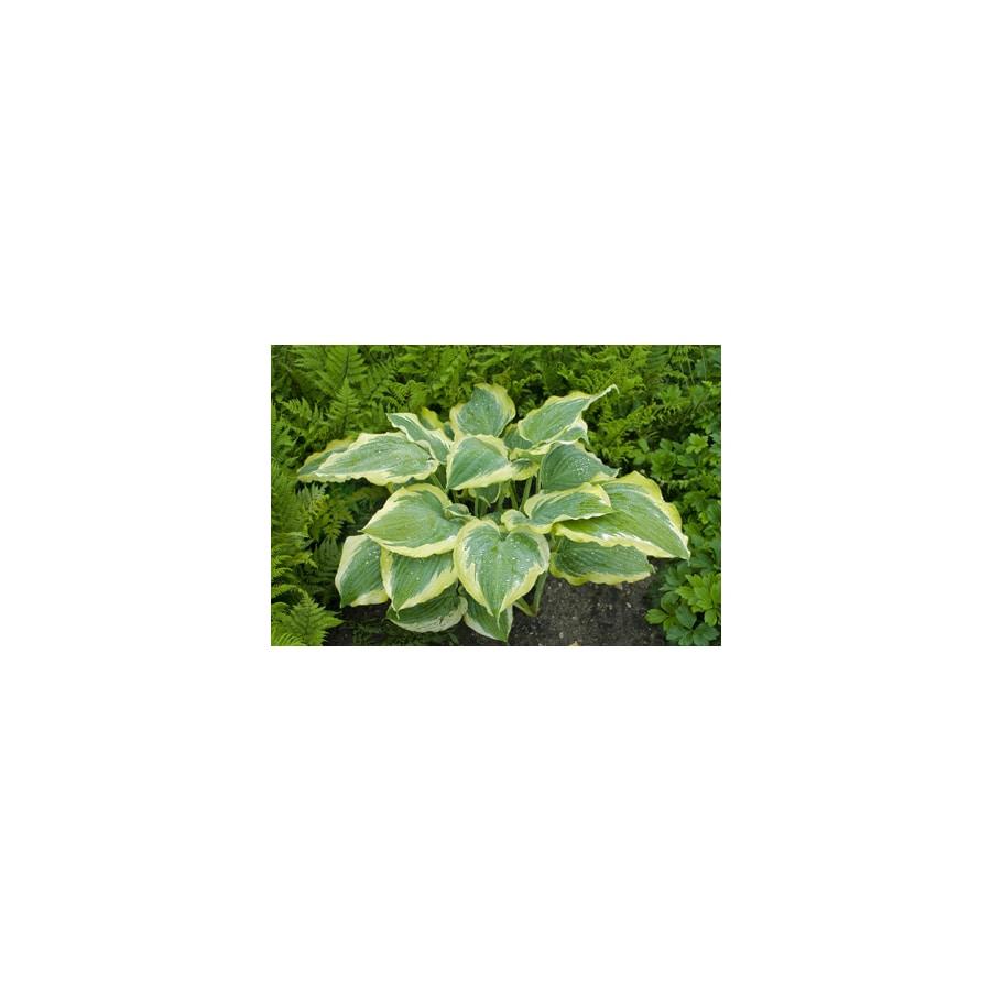 Proven Winners 2-Quart Plantain Lily