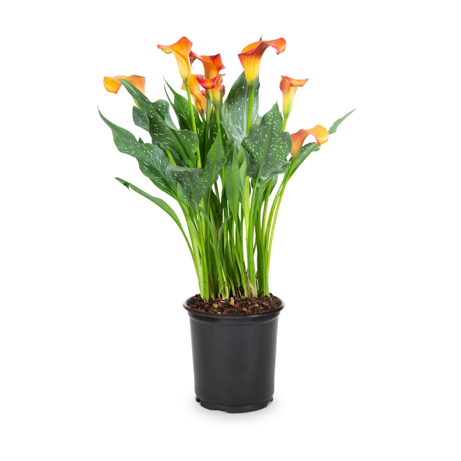 Shop 25 Quart Potted Calla Lily Lw00678 At Lowes