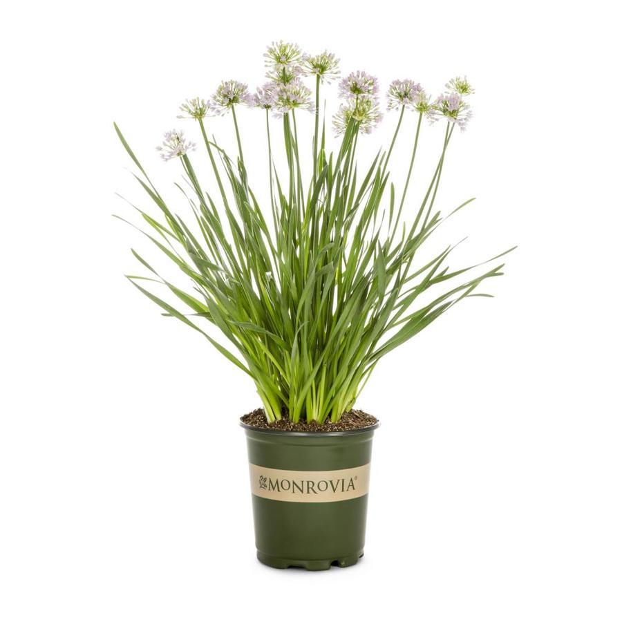 Monrovia 2-Quart Allium