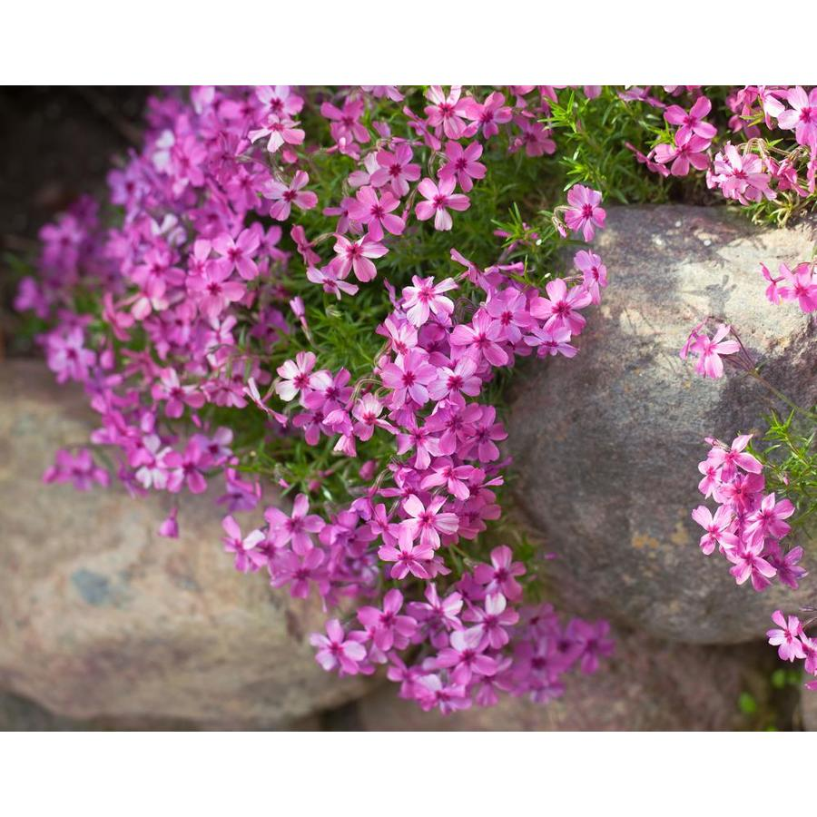 1.5-Gallon Phlox (L6680)