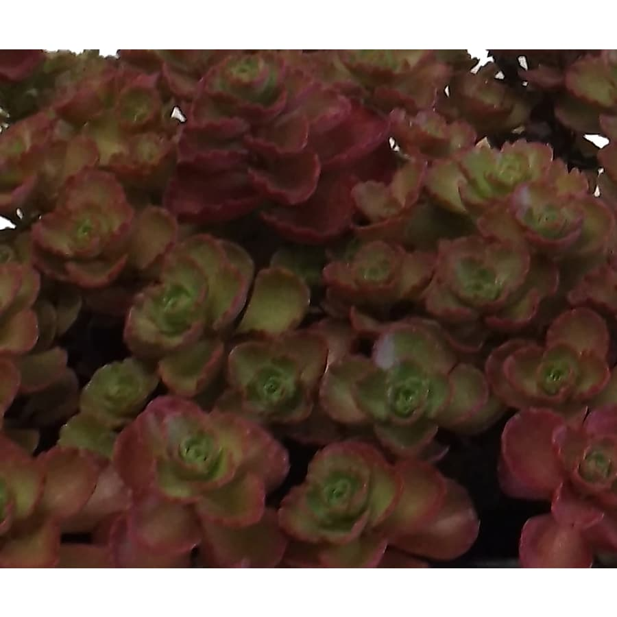 1.5-Gallon Sedum
