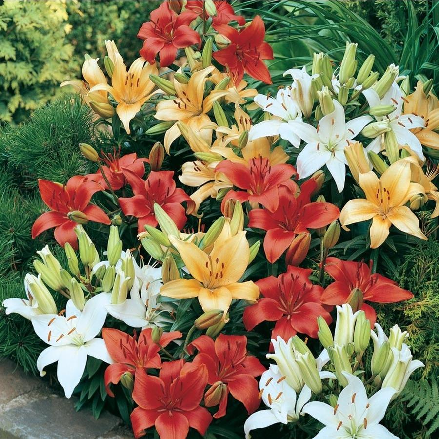1.50-GAL ASIATIC LILIES