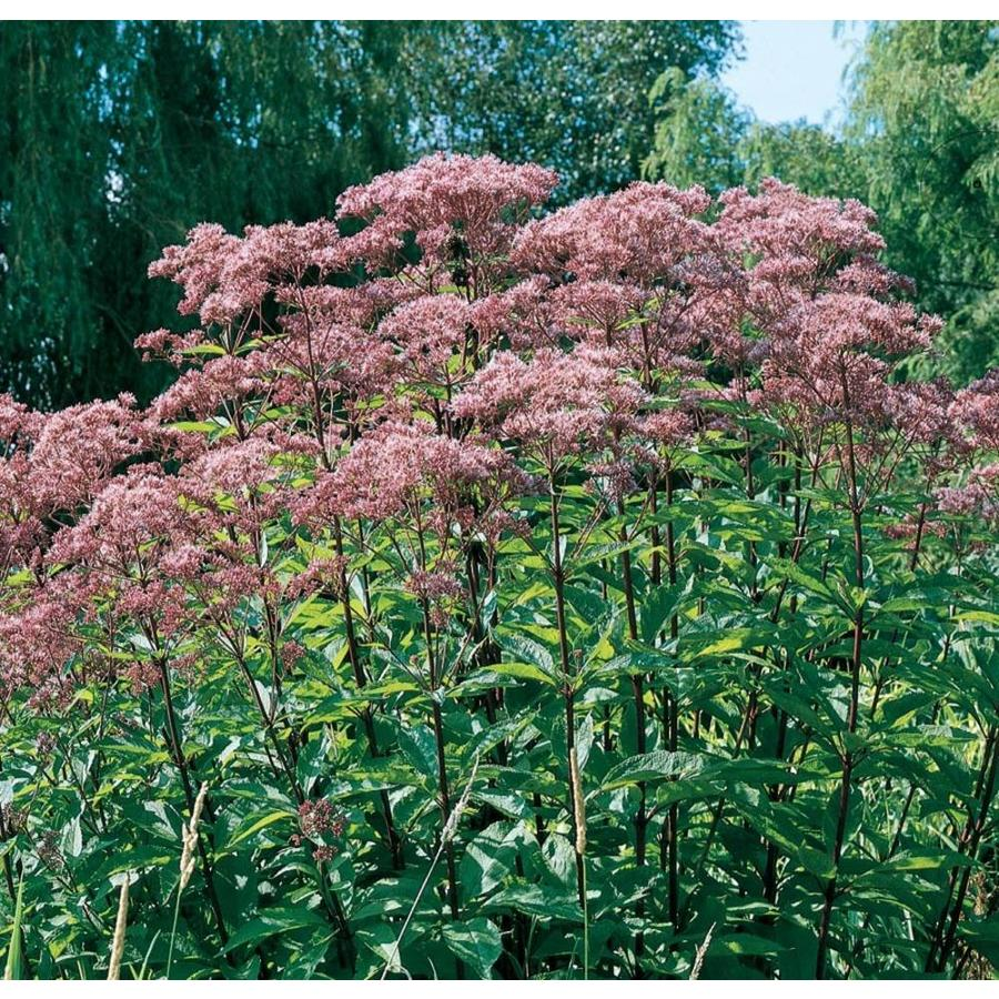 1.5-Gallon Joe Pye Weed (L8159)