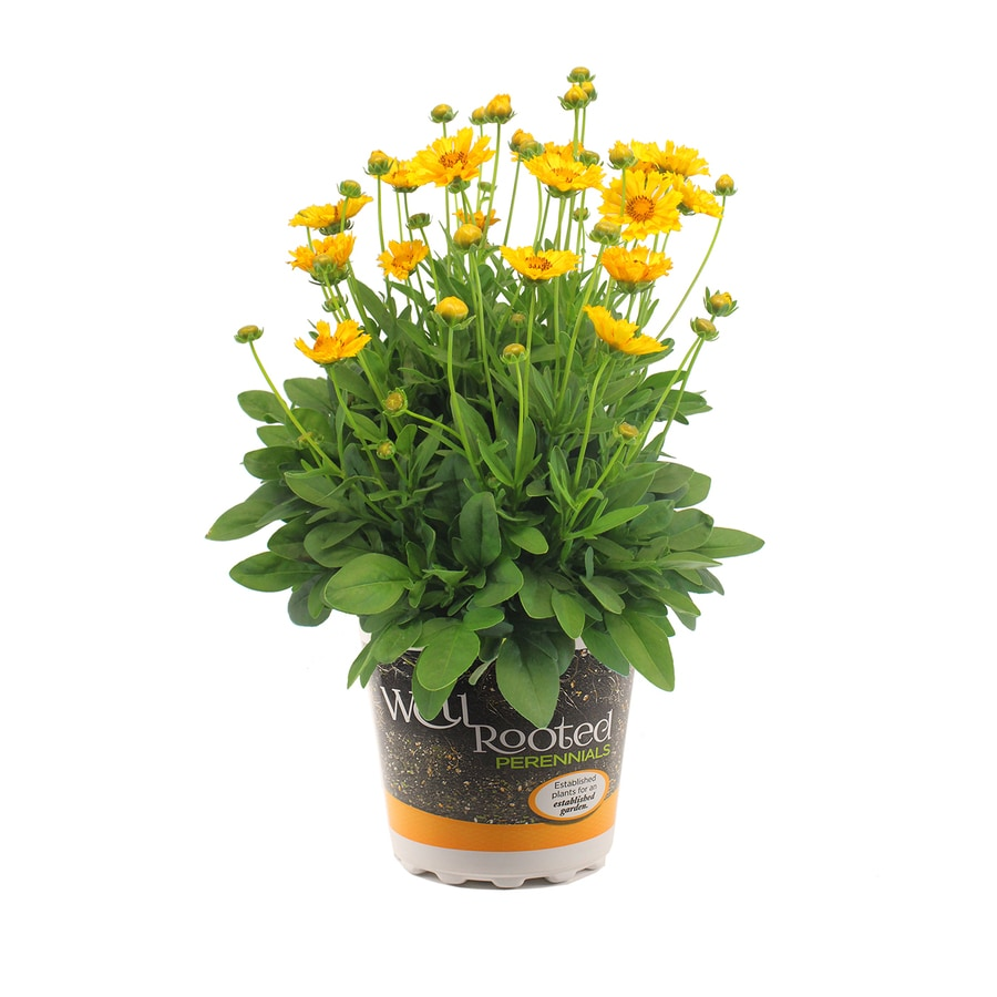 1.5-Gallon Coreopsis