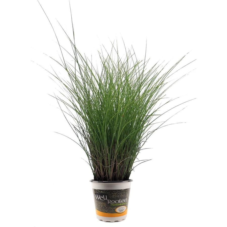1.5-Gallon Maiden Grass
