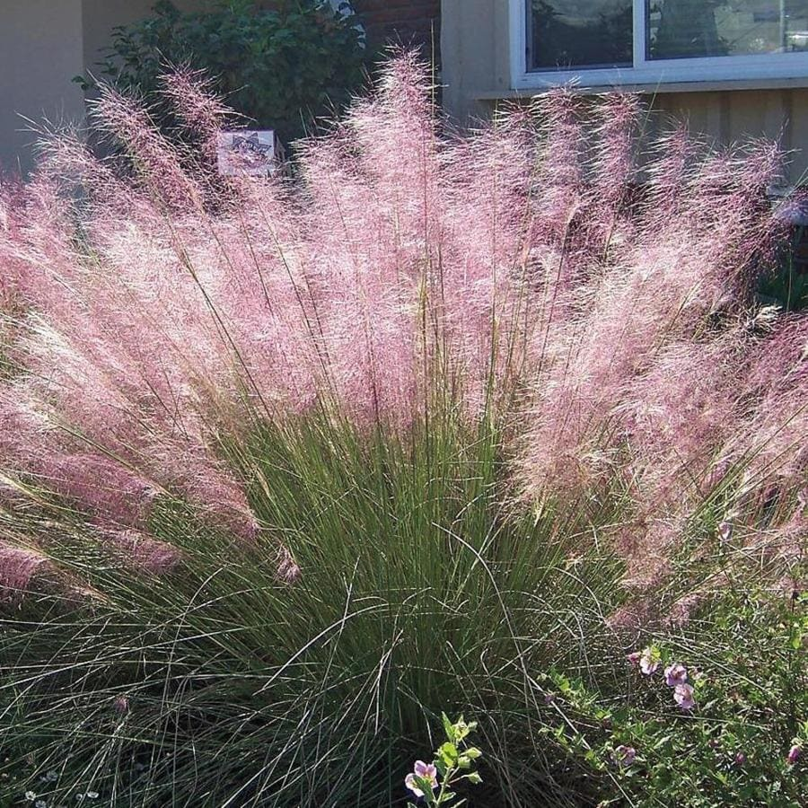 1.5-Gallon Regal Mist Pink Muhly (lw02603)