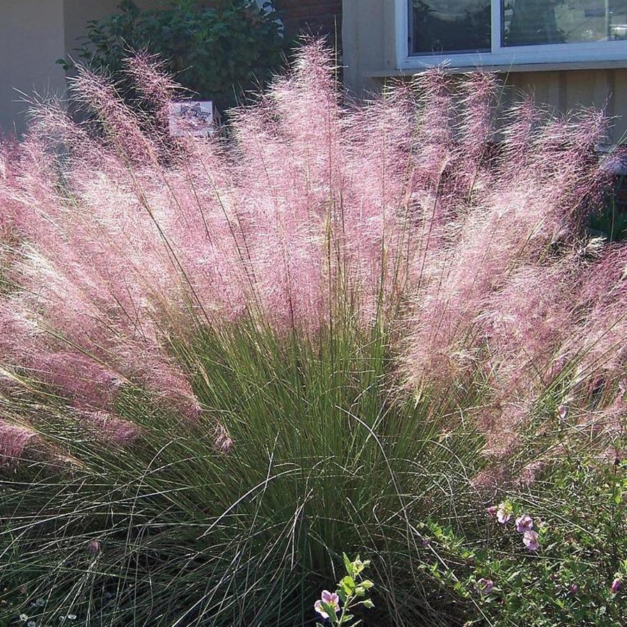 1.5-Gallon Regal Mist Pink Muhly (LW02603)