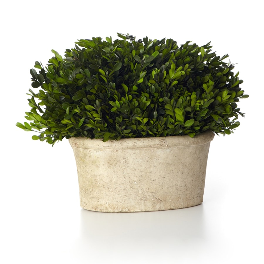 13-in Green Boxwood