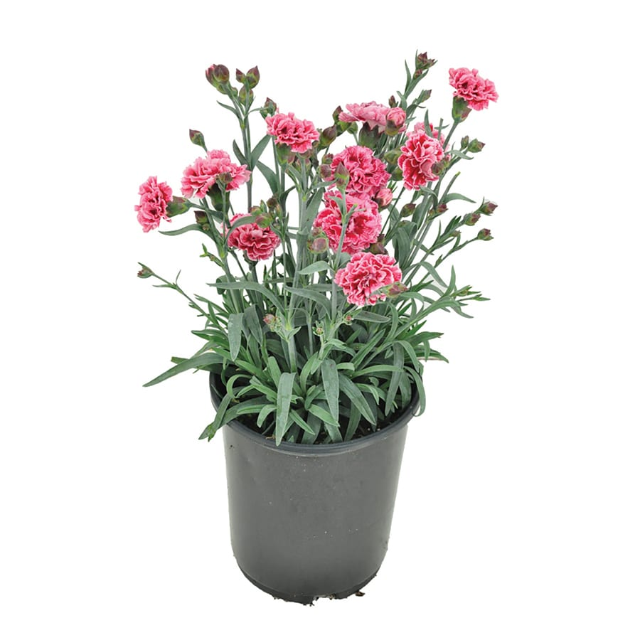 2.5-Quart Container Carnations (L5774)