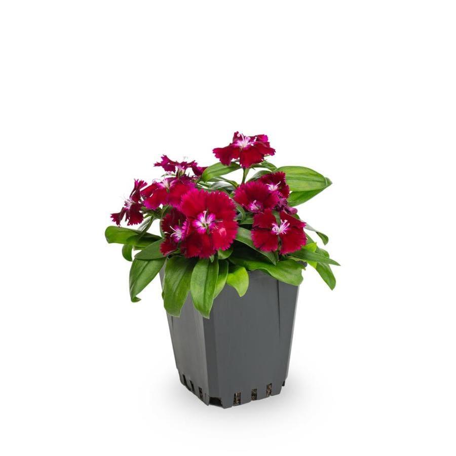 1-Pint Dianthus (L17860)