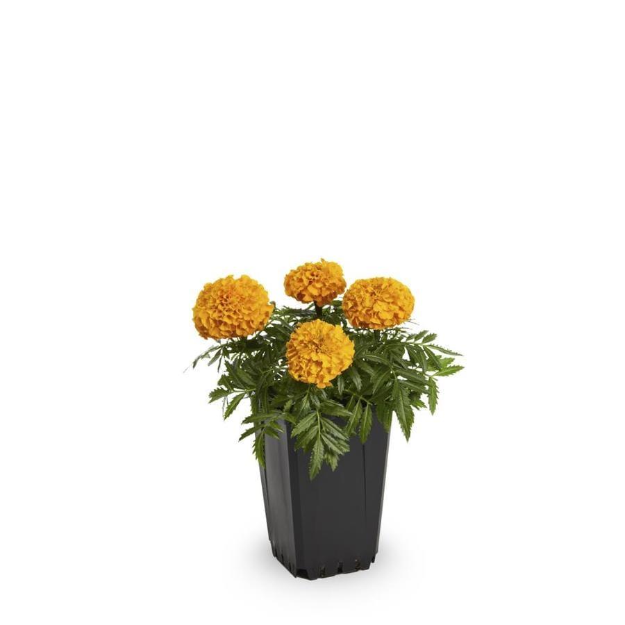 1-Pint French Marigold (Dwarf) (L17086)