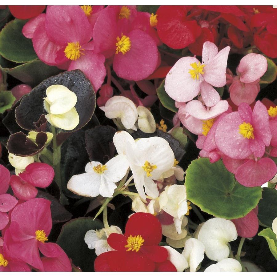 1-Pint Begonia (L6589)