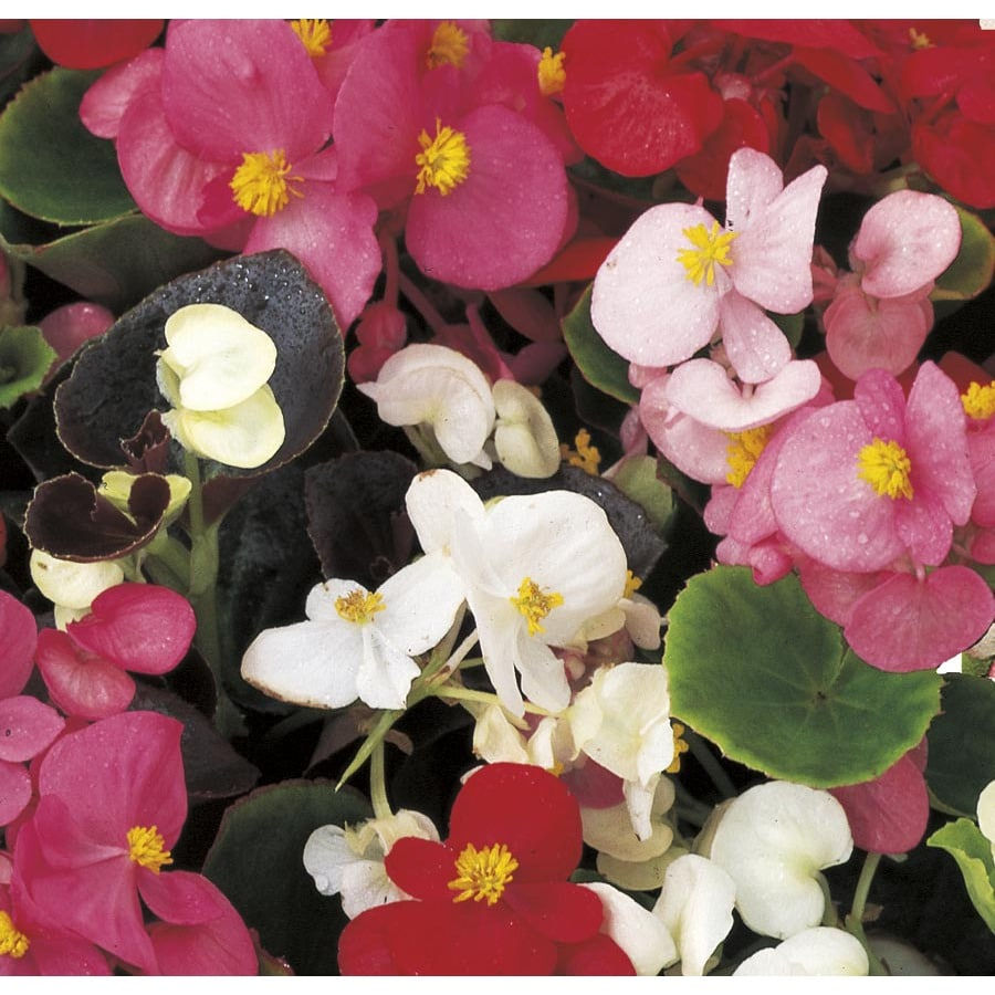 2.5-Quart Begonia (L6589)