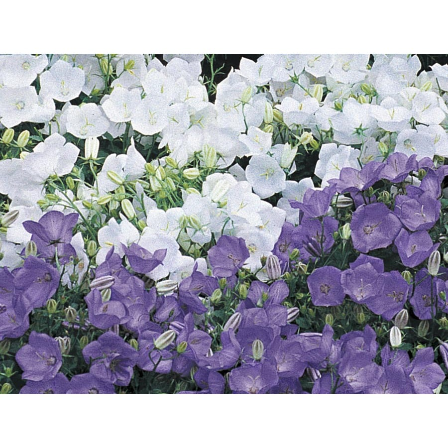 2.5-Quart Carpathian Bellflower (Lw02437)
