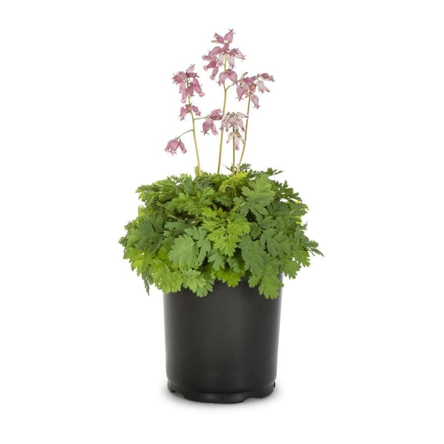 Shop 25Quart Bleeding Heart L3481 at Lowescom