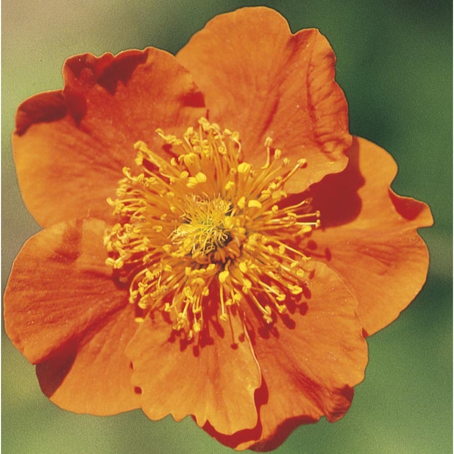 Monrovia 2.5-Quart Single Orange Avens (L4958)