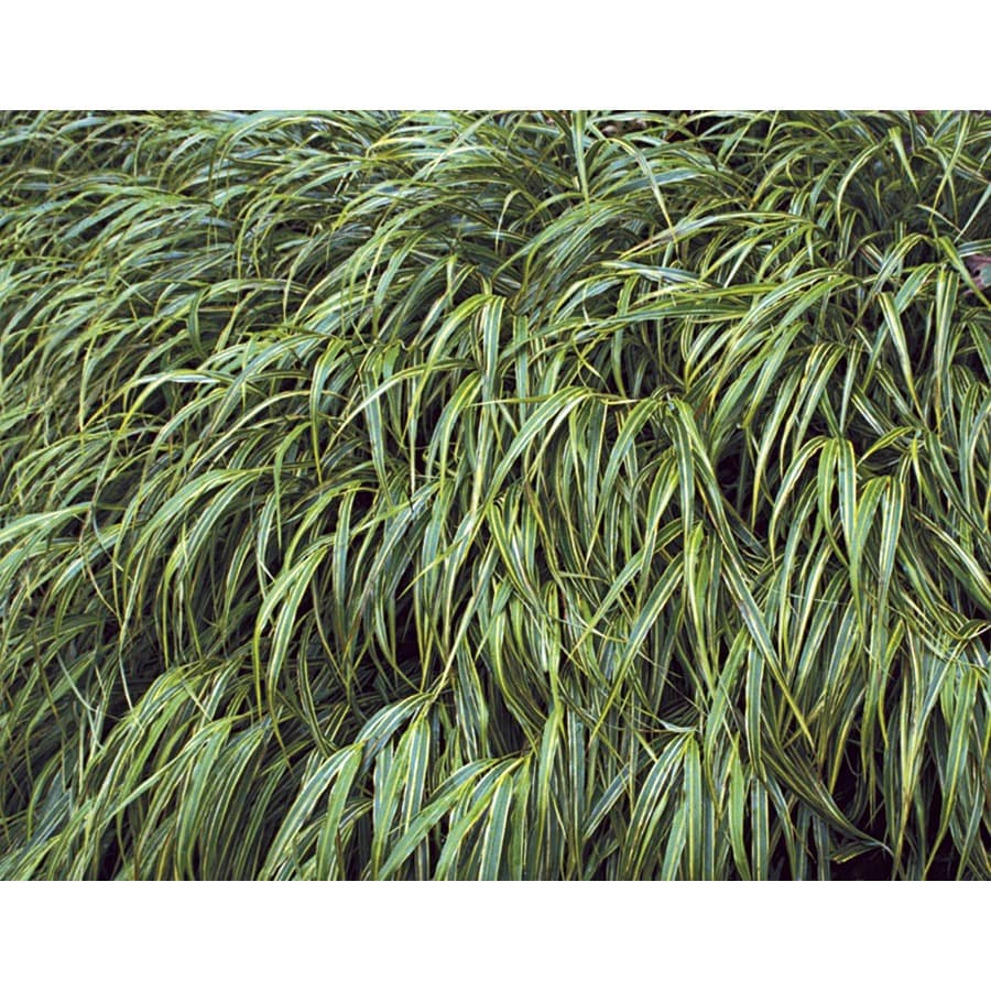 2.5-Quart Variegated Japanese Forest Grass (LW03974)