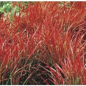 Ornamental Grasses at Lowes com