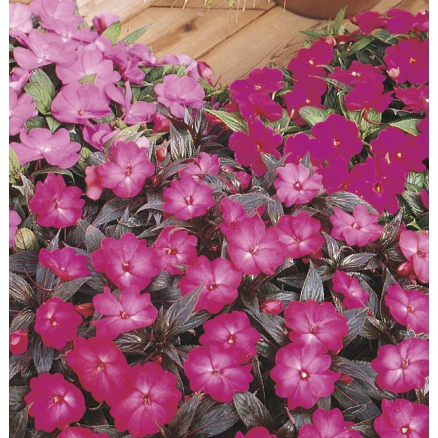 1-Gallon New Guinea Impatiens (L3080)