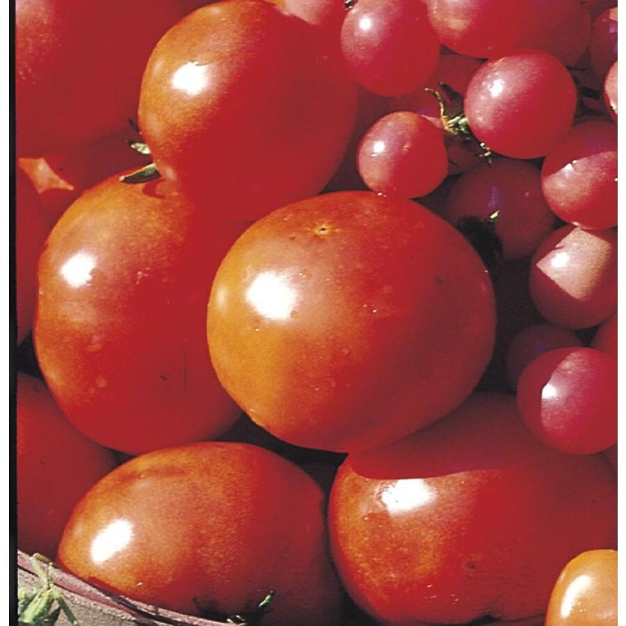 2.5-Gallon Tomato Plant (L14917)