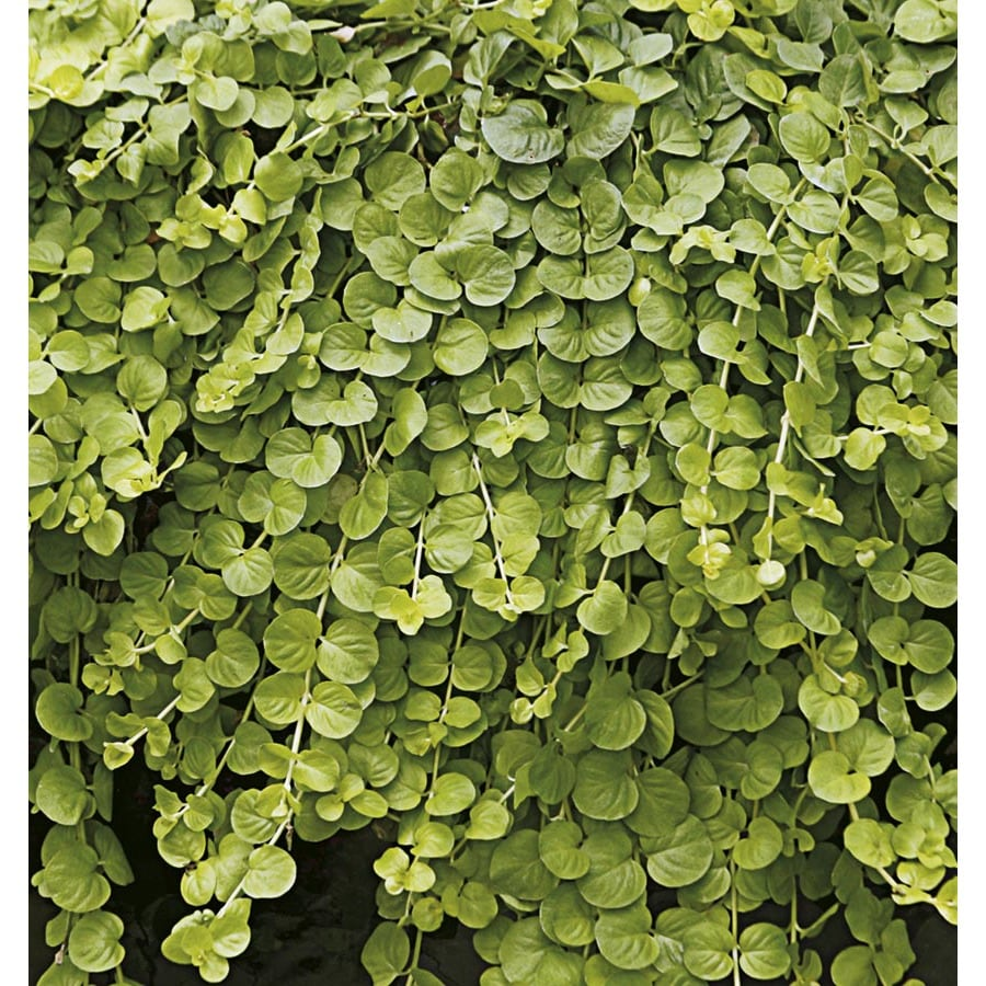 1-Pint Creeping Jenny Pot (L2652)