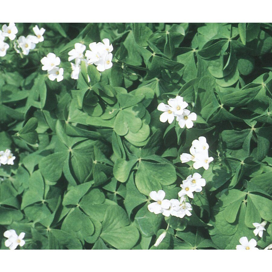 1-Pint Green Shamrock (L17847)