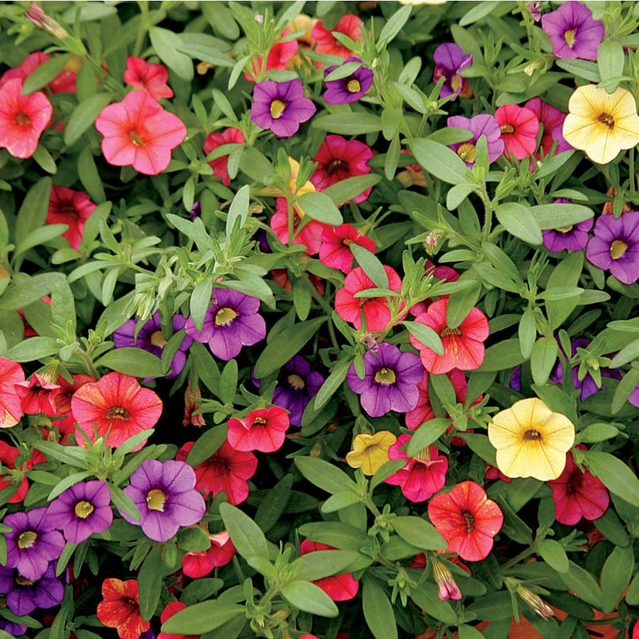 12-Pack Calibrachoa (L17603)