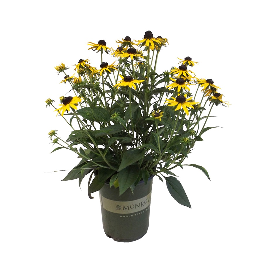2.5-Quart Black Eyed Susan (L5336)
