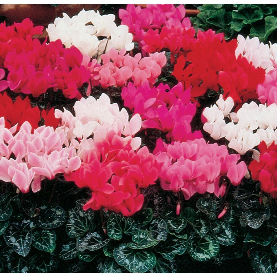 1-Gallon Cyclamen (L9396)