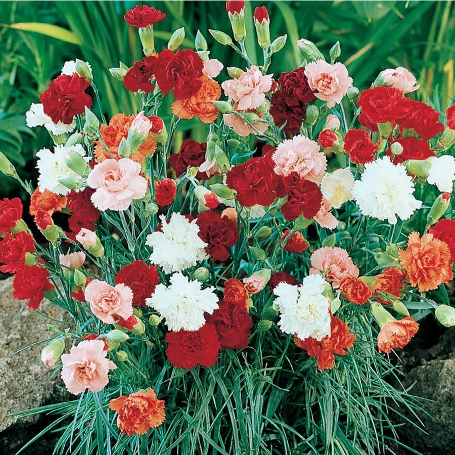 1-Gallon Carnations (L5774)