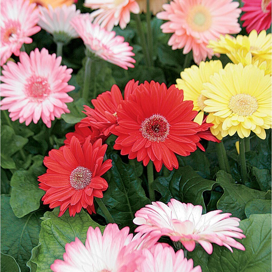 2-Gallon Planter Gerbera Daisy (L3114)