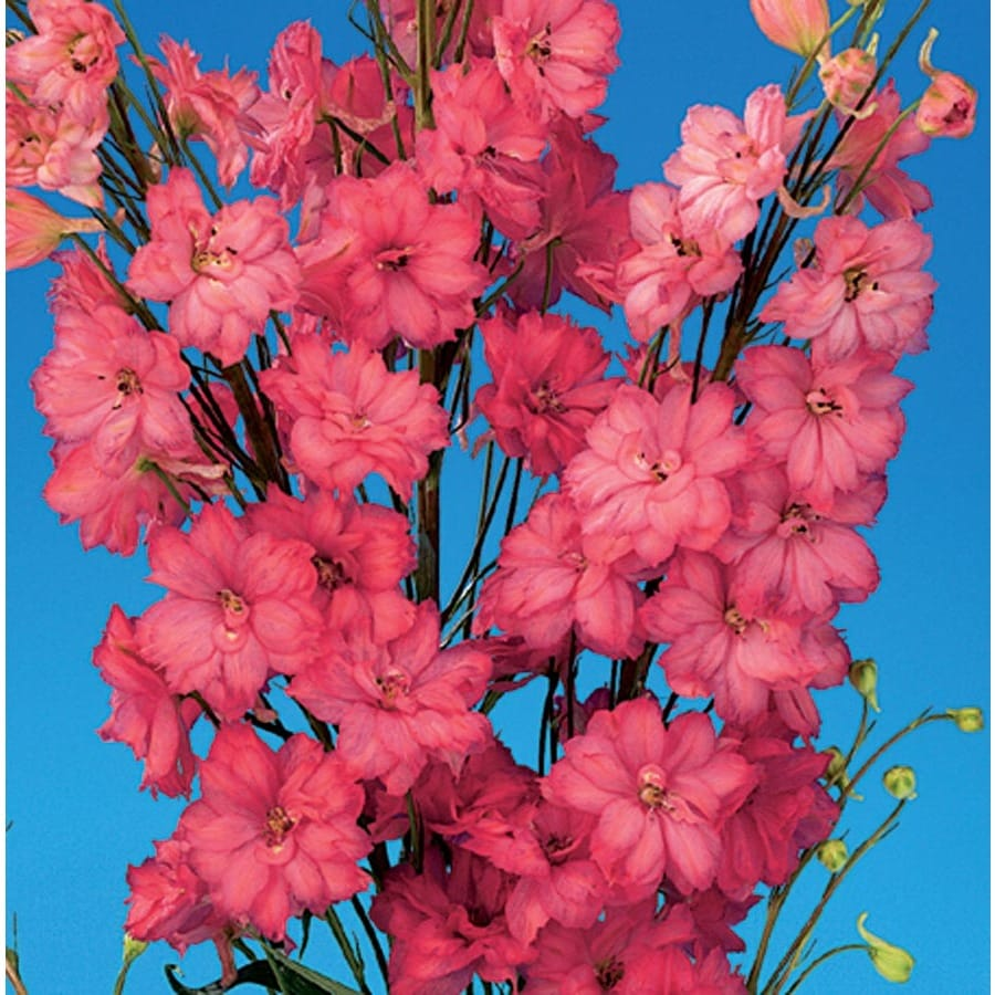 1.5-Gallon Red Caroline Delphinium (L2020)