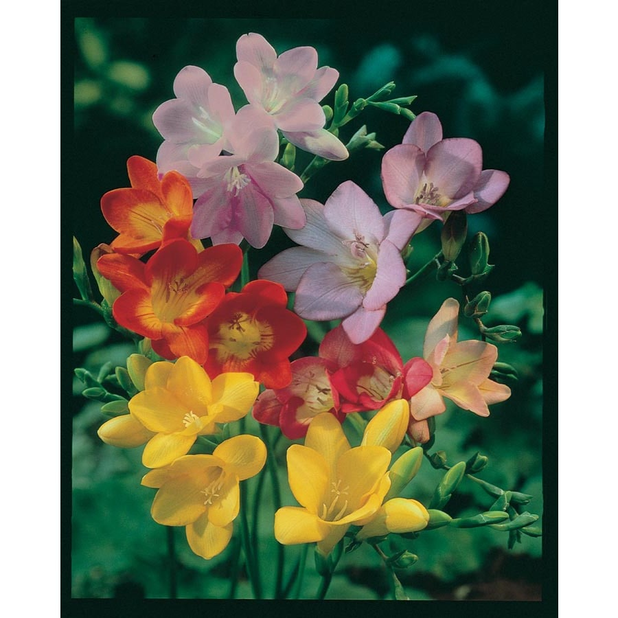 1.25-Quart Freesia Bulbs