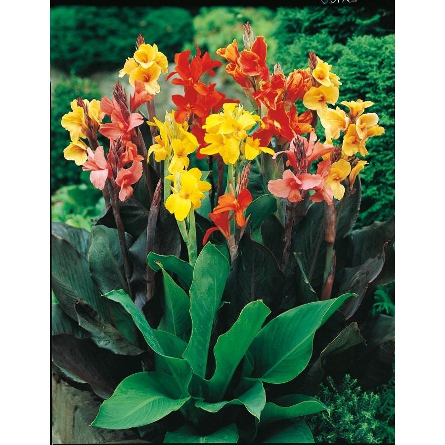 1-Quart Mixed Canna Lily (Lb3461B)