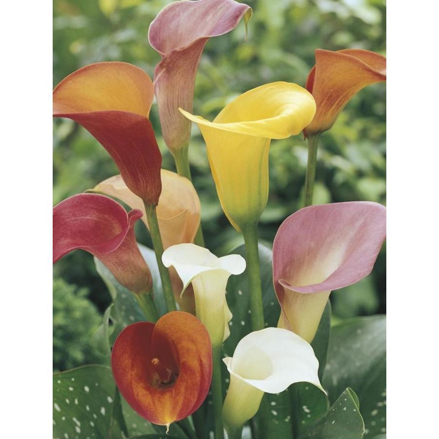 1-Quart Calla Lily (LW00678)