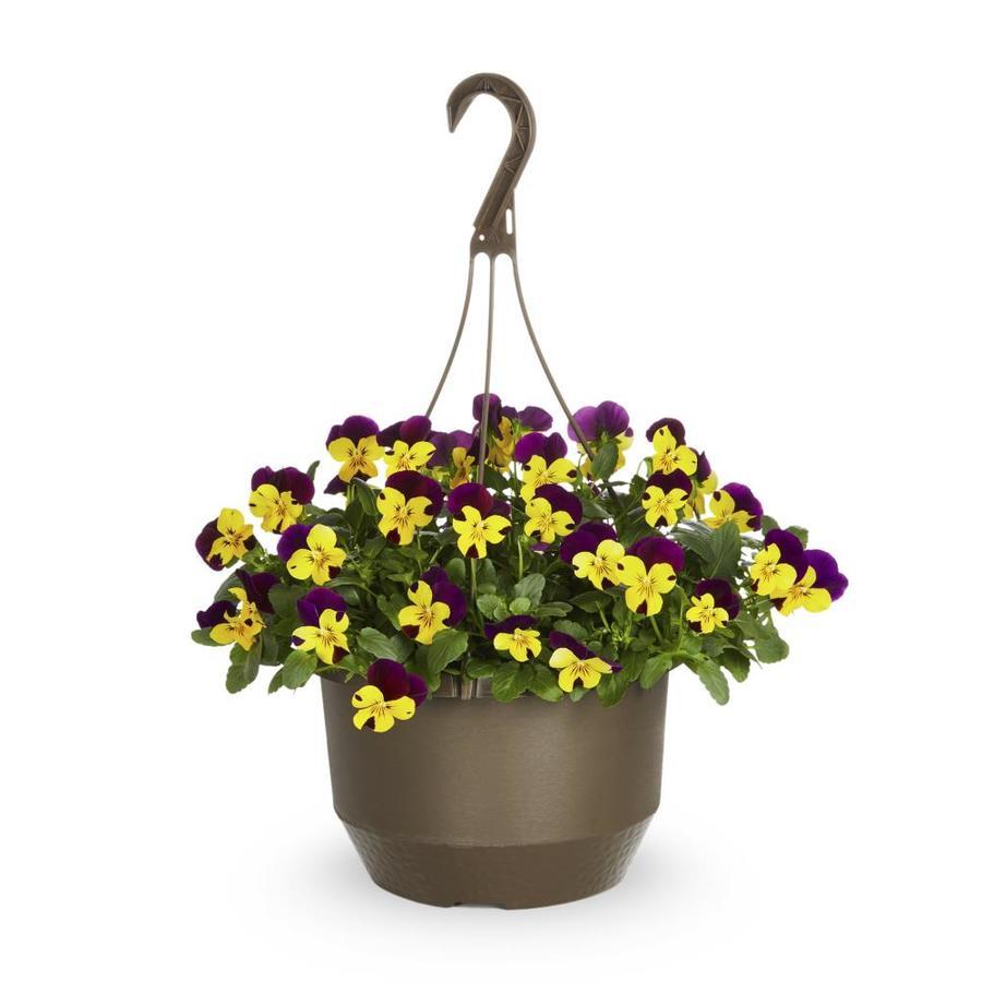 1.5-Gallon Trailing Pansy (L23162)