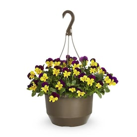 1.5-Gallon Multicolor Trailing Pansy in Hanging Basket (L23162)