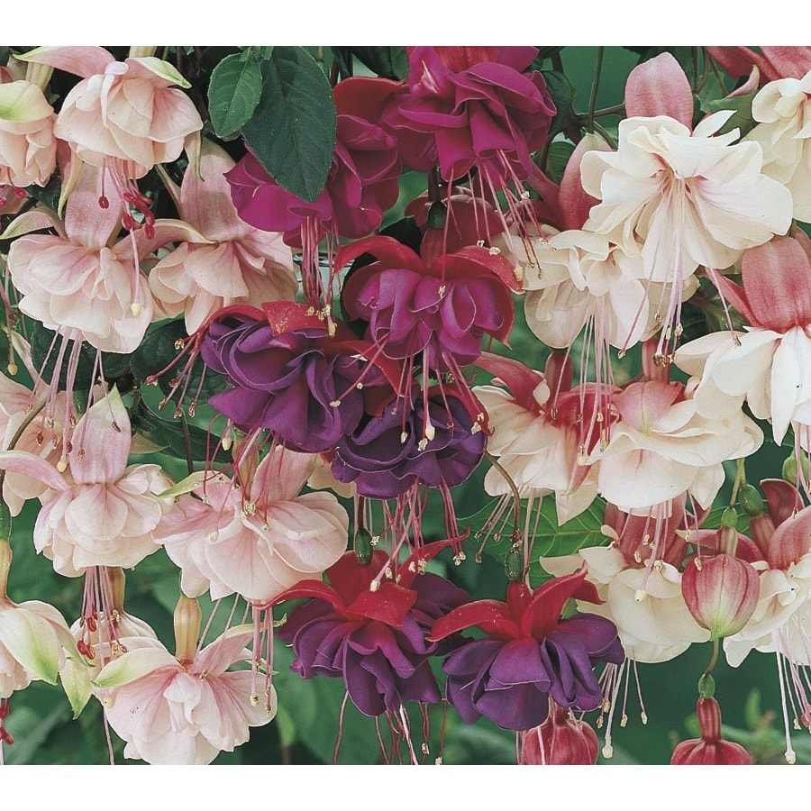 Shop 2 Gallon Hanging Basket Fuchsia L6592 At Lowes