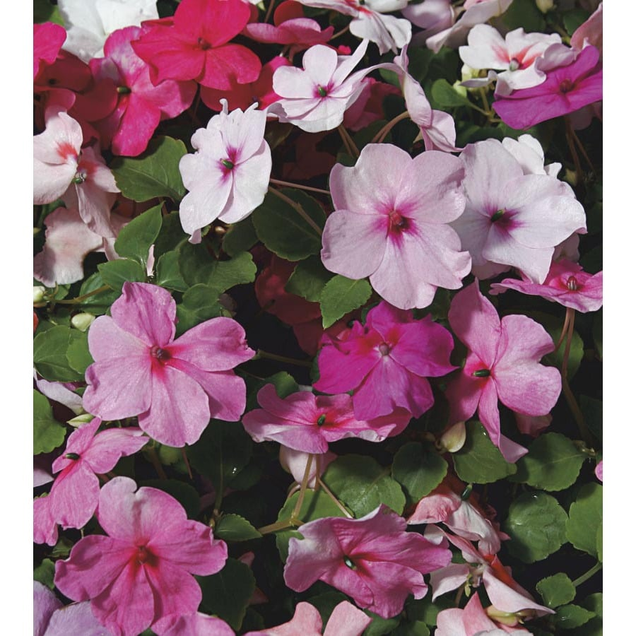 1.5-Gallon Impatiens (L6587)