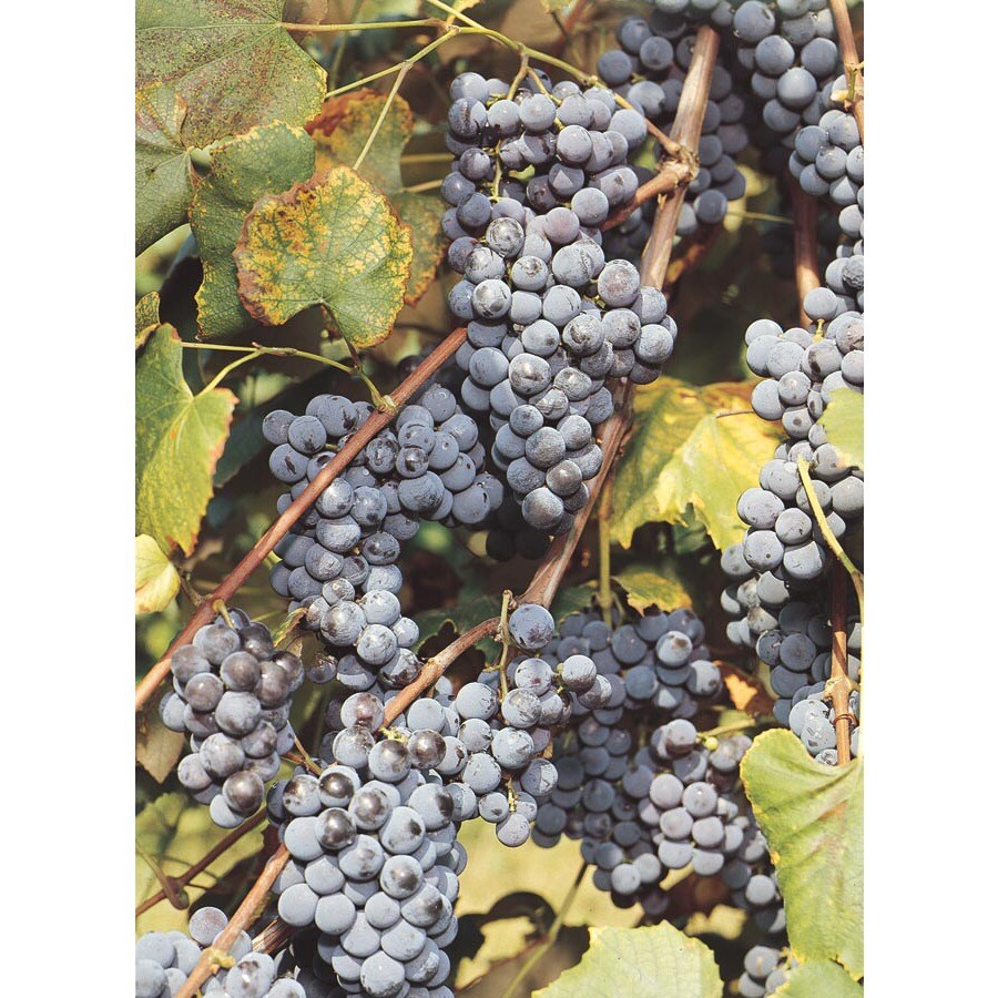 1-Pack Concord Grape Small Fruit (L4863)