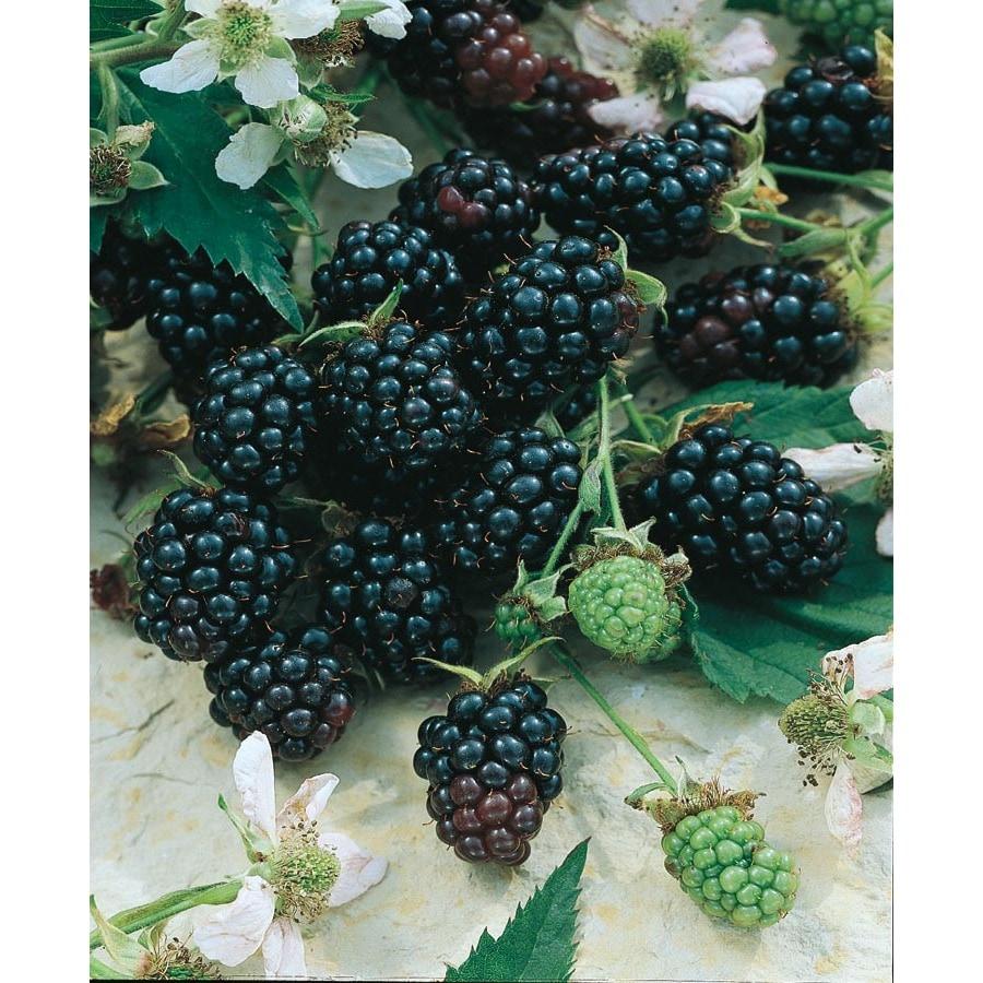 Apache Thornless Blackberry (L14292)
