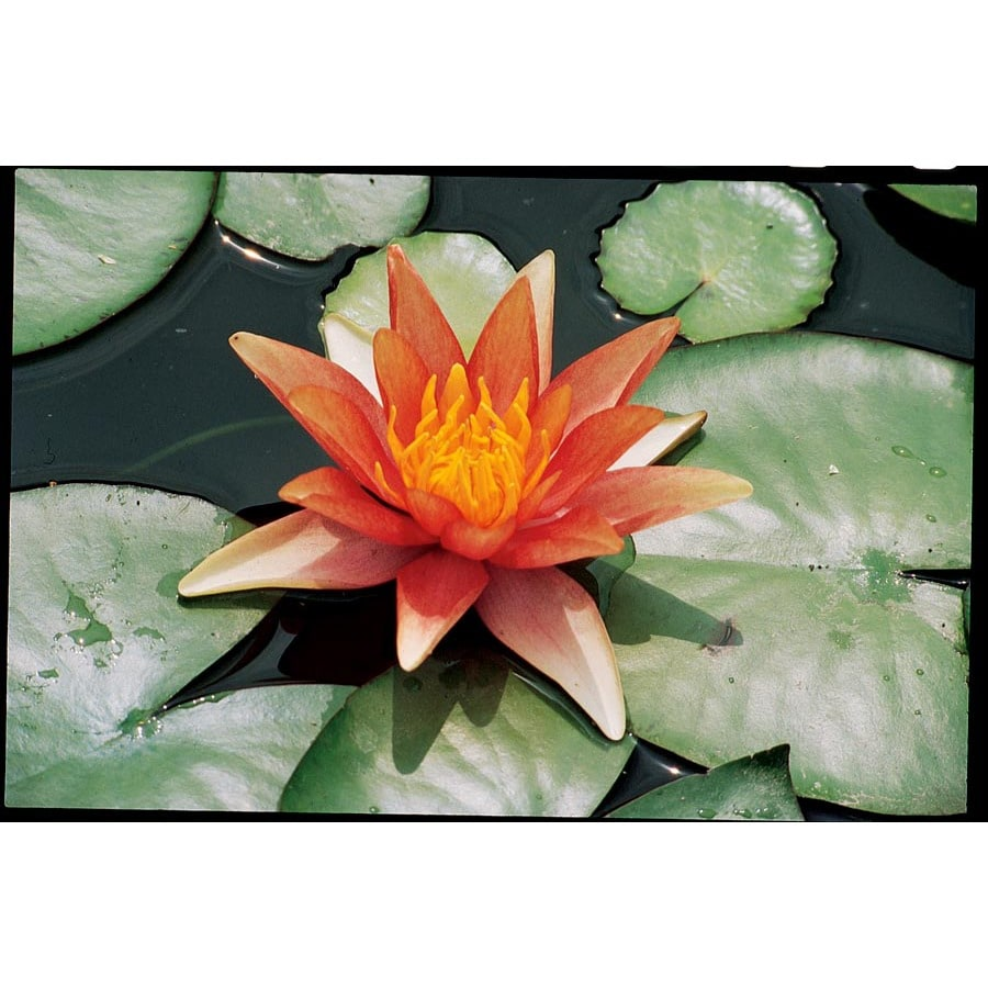 Sioux Waterlily (Lb21733)